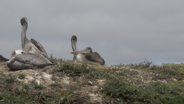 Pelicans_cropped